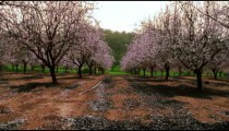 Royalty Free Stock Video Footage of a blooming pink orchard shot in Israel at 4k with Red.