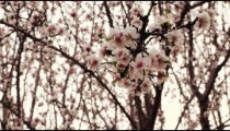 Royalty Free Stock Video Footage of white and pink orchard blossoms shot in Israel at 4k with Red.