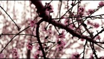 A blossoming pink tree branch shot in Israel at 4k with Red.