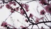 Royalty Free Stock Video Footage of pink blossoming tree branches shot in Israel at 4k with Red.