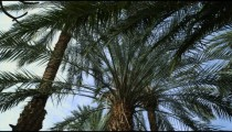 Royalty Free Stock Video Footage of palm trees at Ein Gedi shot in Israel at 4k with Red.