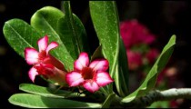 Royalty Free Stock Video Footage of pink-flowered branches shot in Israel at 4k with Red.