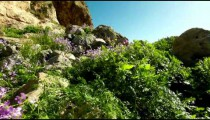 Stock Footage of a rocky, flowered hillside in Israel.