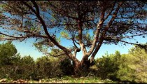 Stock Footage of a forest tree in Israel.