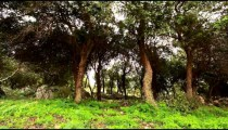 Stock Footage of a windy grove of trees in Israel.