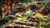 Stock Footage of goats grazing on a rocky hillside in Israel.