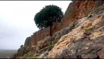 Stock Footage of a lone tree growing on a rocky slope in Israel.