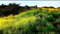 Stock Footage panorama of a hillside covered in yellow wildflowers in Israel.
