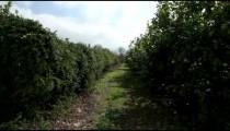 Stock Footage of lemon tree orchard rows in Israel.