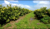 Stock Footage of rows of trees in a lemon orchard.