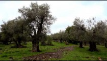 Stock Footage of a grove of olive trees in Israel.