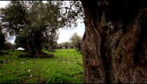 Stock Footage of an olive tree trunk in a grove in Israel.