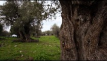 Stock Footage of an old olive tree trunk in a grove in Israel.