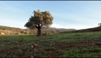 Stock Footage of a lone tree in an open meadow in Israel.
