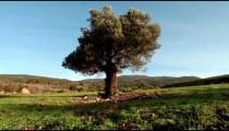 Stock Footage of a single, old tree in an open meadow in Israel.