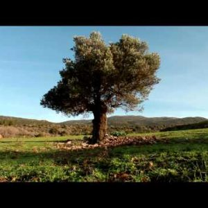 Stock Footage of a single, old tree in an open meadow in Israel.