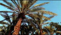 Stock Footage of palm fronds and the blue sky in Israel.