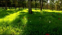 Stock Footage of red and white flowers on a forest floor in Israel.