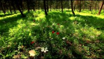 Stock Footage panorama of a flowered forest floor in Israel.