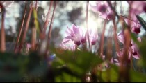 Stock Footage closeup of sunlit purple flowers in Israel.