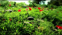 Stock Footage of a tortoise crawling through flowers and grass in Israel.