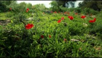 Stock Footage of a tortoise crawling through a red-flowered meadow in Israel.