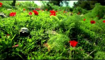 Stock Footage of a tortoise in a red-flowered field in Israel.