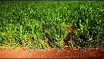 Stock Footage of a lush, green, windy field in Israel.