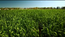 Stock Footage of lush green crops in Israel.