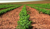Stock Footage of rows of green crops in Israel.
