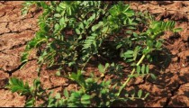 Stock Footage of cracked soil of a bean field in Israel.