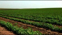 Stock Footage of a large, green field of beans in Israel.