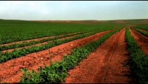 Stock Footage of a green field of bean plants in Israel.