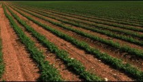 Stock Footage panorama of rows of green crops in Israel.