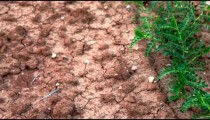 Stock Footage of dry, cracked dirt and bean plants in Israel.