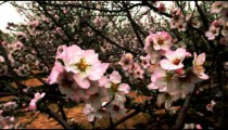 Stock Footage of pink tree blossoms in Israel.