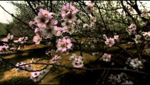 Stock Footage of tree branches with pink and white blossoms in Israel.