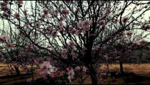 Stock Footage of a tree filled with pink blossoms in Israel.