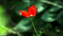 A lone red flower in the breeze shot in Israel.