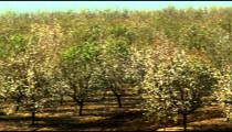 Blossoming almond orchards shot in Israel.