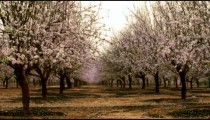 Panning shot of Rows in a blooming orchard shot in Israel.