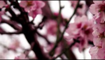 Panning shot of Pink tree blossoms shot in Israel.