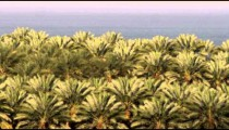 Panning shot of A palm orchard at the Dead Sea shot in Israel.