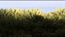 Panning shot of Palm tree crowns at the Dead Sea shot in Israel.
