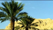 Panning shot of Ein Gedi palm trees and a mountain shot in Israel.