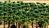 Panning shot of A palm tree orchard shot in Israel.