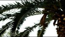 Panning shot of An Ein Gedi palm tree shot in Israel.
