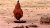 Chicken Eating in Africa.