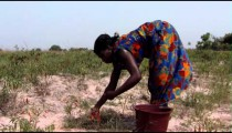Royalty Free Stock Footage of People harvesting chili peppers in Africa.