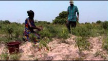 Royalty Free Stock Footage of People picking chili peppers in Africa.